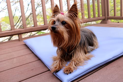 little dog sitting on a blue vinyl mat on an outdoor deck